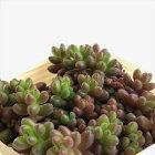 多肉植物sbセダムばらまき玉葉多肉植物セダム7.5cmポット