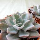 awエケベリア ジュピター 多肉植物 エケベリア 6cmポット