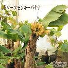 ドワーフ・モンキーバナナ(観葉植物13.5cmポット)