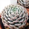 多肉植物 hmエケベリア ピンウィール (タクスパン) 多肉植物 エケベリア 6cmポット
