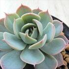 swkエケベリアパラディソ多肉植物エケベリア7.5cmポット