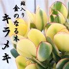 斑入り金のなる木キラメキ花月カゲツ5号鉢