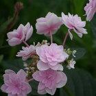 開花見込みアジサイ苗加茂ガーデンアジサイキュート10.5cmポット苗紫陽花あじさいハイドランジアHydrangeanic