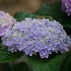 開花見込みアジサイ苗加茂ガーデンアジサイてまりてまり10.5cmポット苗紫陽花あじさいハイドランジアHydrangeanic