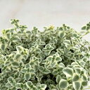多肉植物 seクラッスラ リトルミッシー 多肉植物 9cmポットの写真
