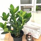 クルシアロゼオプリンセス6号鉢送料無料観葉植物苗インテリアおしゃれ