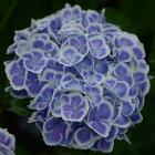 開花見込みアジサイ苗加茂ガーデンアジサイモナリザ10.5cmポット苗紫陽花あじさいハイドランジアHydrangeanic