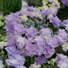 開花見込みアジサイ苗加茂ガーデンアジサイコサージュ10.5cmポット苗紫陽花あじさいハイドランジアHydrangeanic