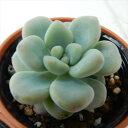 多肉植物 hmセダム ロッティー 多肉植物 セダム 6cmポットの写真