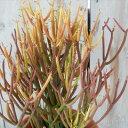 ユーフォルビア ミルクブッシュ スティックオブファイヤー 多肉植物 ユーフォルビア 6号鉢