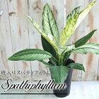 斑入りスパティフィラム6号鉢観葉植物