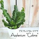アスプレニウムコブラ4号鉢観葉植物