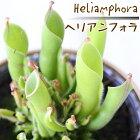 ヘリアンフォラ食虫植物3.5号鉢