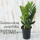 ザミオクルカスザミーフォリア4号鉢観葉植物