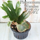 コウモリランプラティセリウムワンダエ観葉植物6号鉢