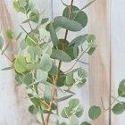 ハートリーフユーカリウェブステリアナ9cmポット観葉植物ハーブ