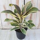 コルジリネチョコレートクイーン4号鉢観葉植物