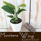 希少!モンステラジェイドウイング4号鉢観葉植物