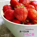 予約販売 選べるいちご苗 9cmポット イチゴ 苺 いちご