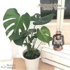 モンステラデリシオサ6号鉢送料無料観葉植物インテリアグリーンインテリア