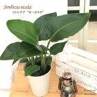 ストレチアオーガスタ6号鉢送料無料観葉植物ストレリチアインテリアグリーンインテリア