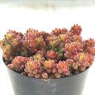 seセダムばらまきレッドベリー多肉植物セダム7.5cmポット