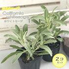 カリフォルニアホワイトセージ2個セットハーブ苗スマッジング宿根草9cmポット