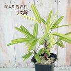 斑入り観音竹綾錦カンノンチク4号鉢観葉植物インテリア新築祝い