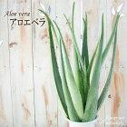 アロエベラ5号鉢送料無料アロエベラ苗観葉植物インテリア