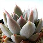 多肉植物swkエケベリアシムランス×レッドエボニー韓国苗多肉植物エケベリア7.5cmポット
