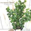 ベンジャミン バロック フィカス 4号鉢 観葉植物 インテリア おしゃれ