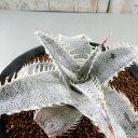 多肉植物 caデッキア マルニエル ラポストレイ 多肉植物 多肉植物 ディッキア ブロメリア 4号鉢