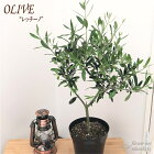 オリーブレッチーノ5号鉢送料無料観葉植物オリーブの木苗シンボルツリー庭木