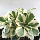多肉植物seセダムアトランティス多肉植物セダム9cmポット