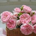 予約販売 バラ大苗 河本バラ園 リュバン 四季咲き ピンク バラ 薔薇 バラ苗 hao 2月下旬以降発送