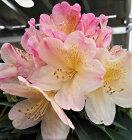 西洋シャクナゲパーシーワイズマン5号鉢開花予定株シャクナゲ花苗しゃくなげ石楠花常緑