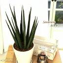 サンスベリア カタナ 7号鉢 サンセベリア 送料無料 観葉植物 苗 インテリア おしゃれ