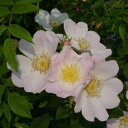 予約販売 バラ新苗 ロサ カニナ(ドッグ ローズ) 半つる性 一季咲き 中輪 オールド ローズ 野生種 薔薇 ばら バラ苗 tros