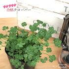 合格クローバー観葉植物クローバー五つ葉クローバーインテリアおしゃれ9cmポット