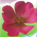 予約販売 バラ新苗 コンプリカータ 半つる性 一季咲き 中輪 オールド ローズ 薔薇 ばら バラ苗 tros 4月上旬以降発送