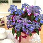 母の日ギフトアジサイ七変化ブルー5号鉢送料無料贈り物プレゼントあじさい紫陽花花鉢植え