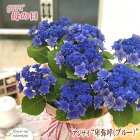 母の日ギフトアジサイ卑弥呼ブルー5号鉢送料無料贈り物プレゼントあじさい紫陽花花鉢植え