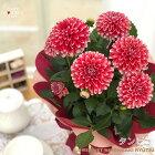 母の日ギフトダリアタンピコ5号鉢送料無料贈り物プレゼント花鉢植え