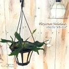コウモリランネザーランド5号吊り鉢プラティセリウムビカクシダ苗観葉植物インテリアおしゃれ