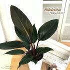 フィロデンドロンロジョコンゴ6号鉢送料無料観葉植物インテリアおしゃれ