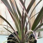 ニューサイランピンクストライプ観葉植物ススキノキ科フォルミウムマオランカラーリーフ12cm鉢