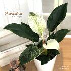 フィロデンドロンバーキン6号鉢送料無料観葉植物インテリアおしゃれ