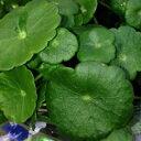 ウォーターマッシュルーム(ビオトープ 水辺植物 9cmポット)