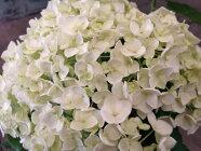 アナベル白花アジサイ