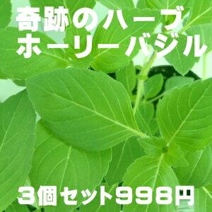 奇跡のハーブ ホーリーバジル トゥルシー苗 3個セット(空気浄化・マイナスイオン・新陳代謝・虫よけ)